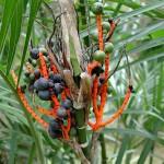 Chamaedorea seifrizii - fruits