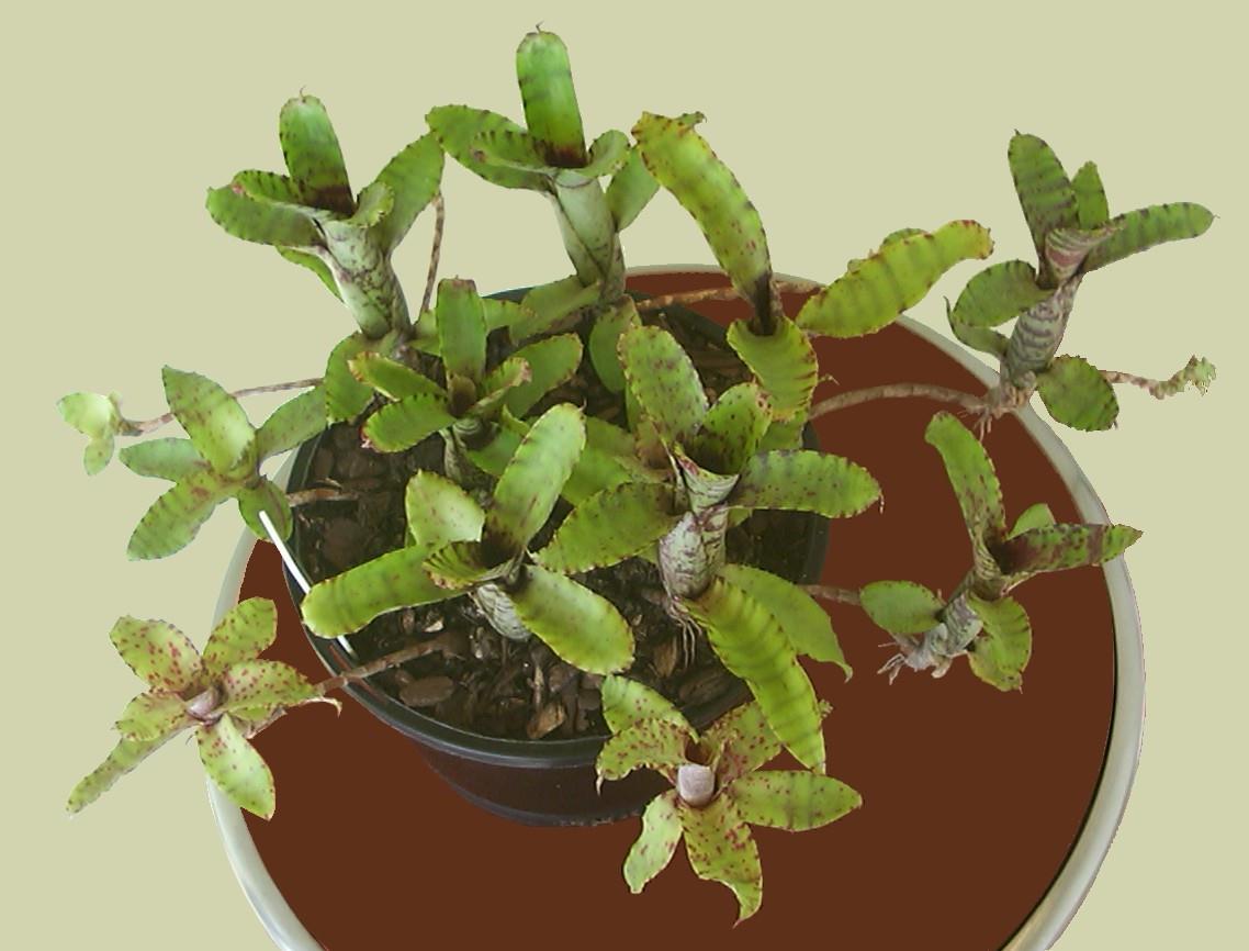 Plants flowers vase plant neoregelia lilliputiana reviewsmspy