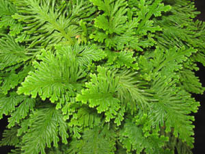 Selaginella emmeliana