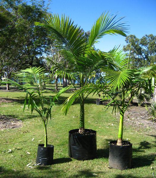 Plants & Flowers » Archontophoenix alexandrae