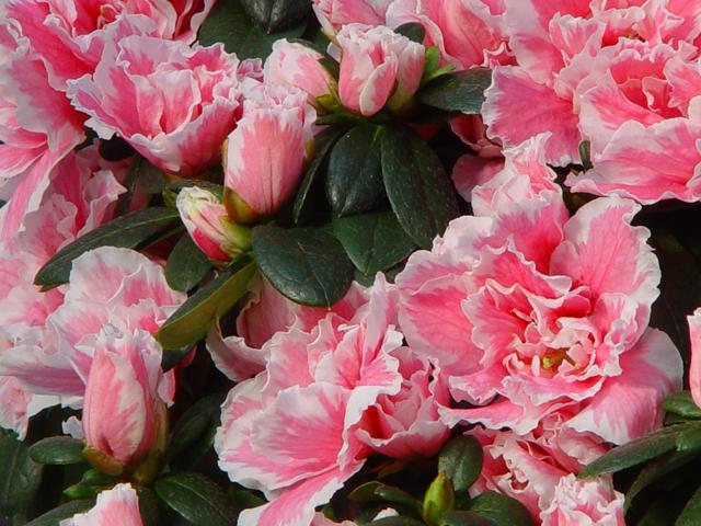 Plants flowers azalea indica inga for The azalea