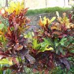 Codiaeum variegatum Bravo