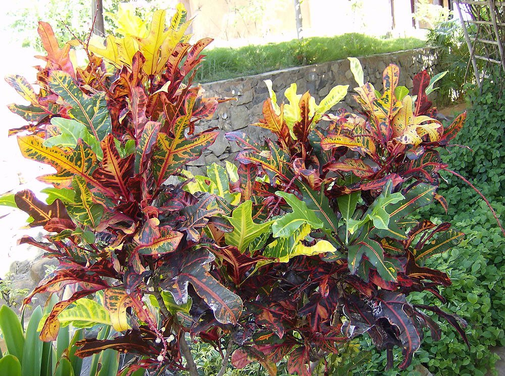 Plants flowers codiaeum variegatum for Croton plant