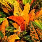 Codiaeum variegatum Gloriosum superbum