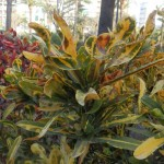 Codiaeum variegatum Spirale