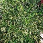 Codiaeum variegatum angustifolium