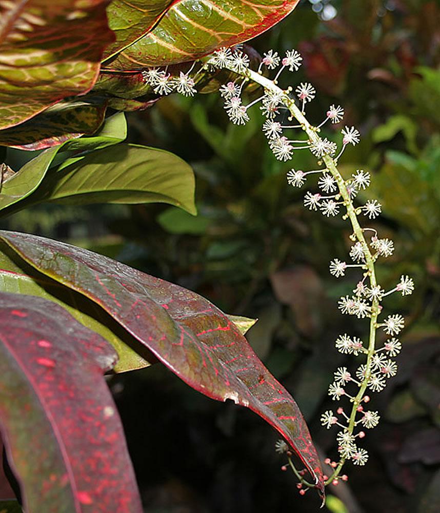 Plants Amp Flowers 187 Codiaeum Variegatum