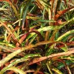 Codiaeum variegatum pictum Fascination