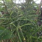Codiaeum variegatum punctatum aureum