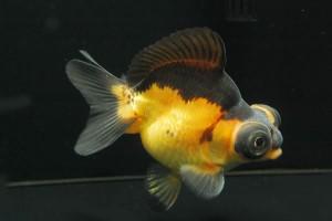 Demekin Goldfish