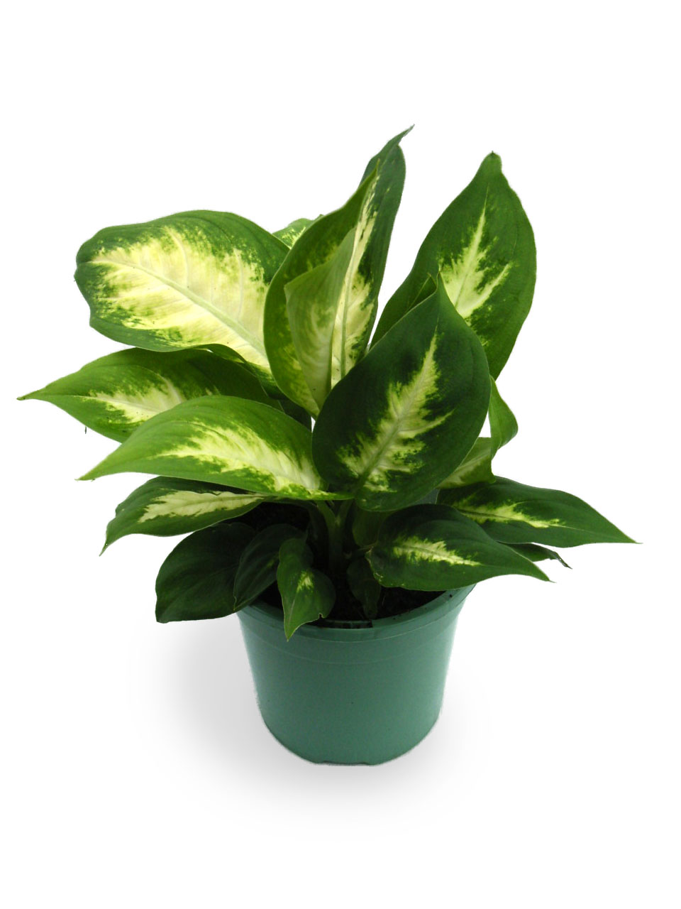 Plants & Flowers » ffenbachia seguine on names of house buildings, names of dracaena plants, names of plants inside, names of dry plants, names of office plants, indoor plants, names of herbaceous perennials, names of different houseplants, scientific names of plants, names of gifts, names of unusual plants, names of flowers, names of landscape plants, names of elephant ear plants, names of hibiscus, names of seashore plants, names of climbers, names of fuchsias, names of house design, names of angel plants,
