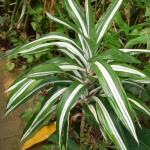 Dracaena deremensis Warneckii