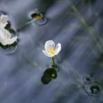 Egeria densa flower