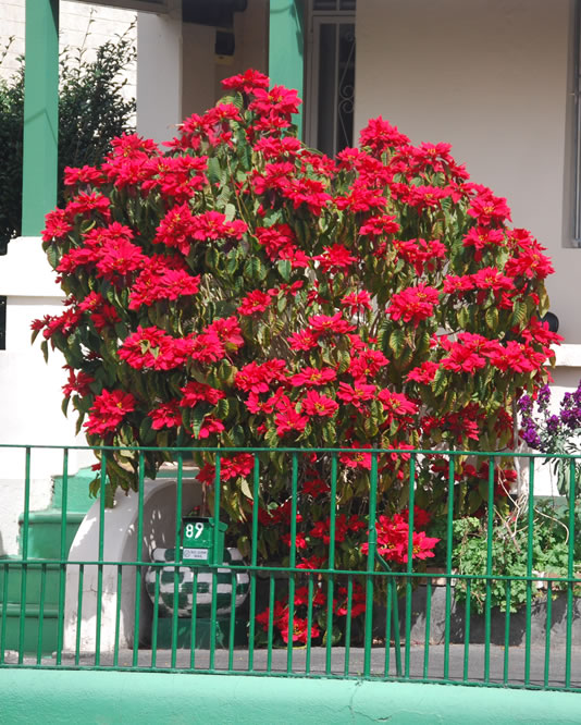 Plants Amp Flowers 187 Euphorbia Pulcherrima