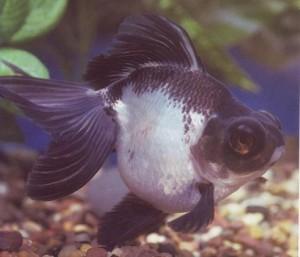 Panda Moor Goldfish