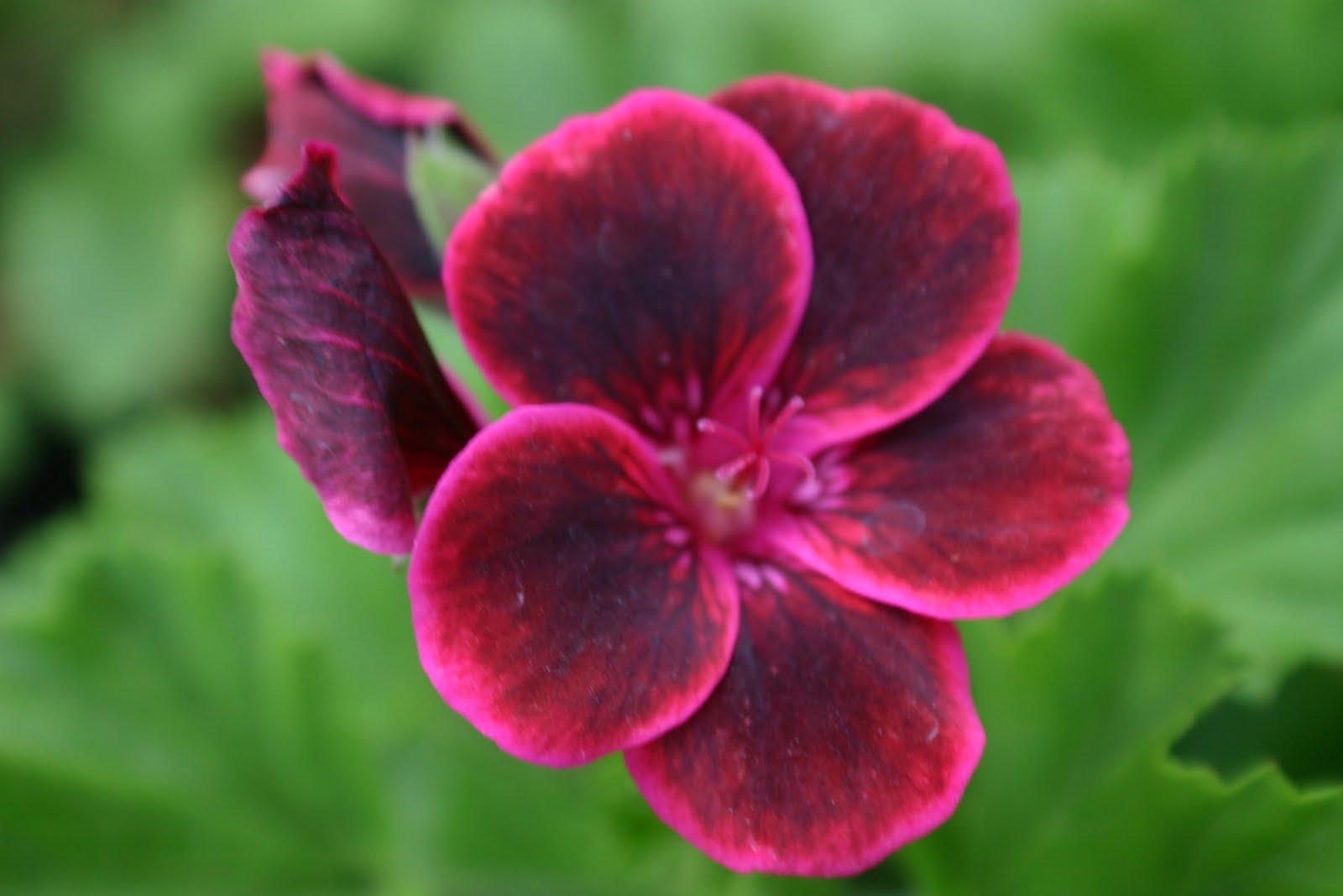 Plants Amp Flowers 187 Pelargonium Peltatum
