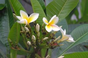 Plumeria spp