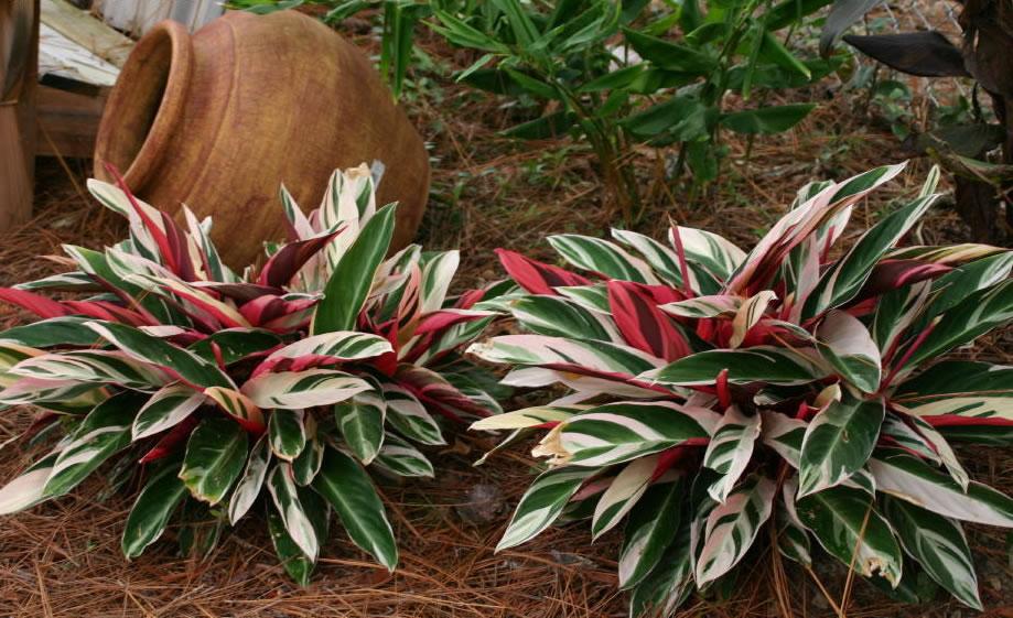 Гранат  полезные свойства выращивание и лечение гранатом