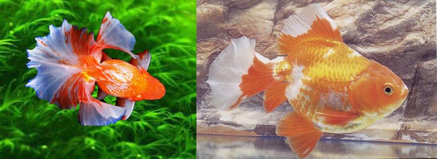 Speed dating goldfish sydney