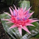 Aechmea fasciata flower