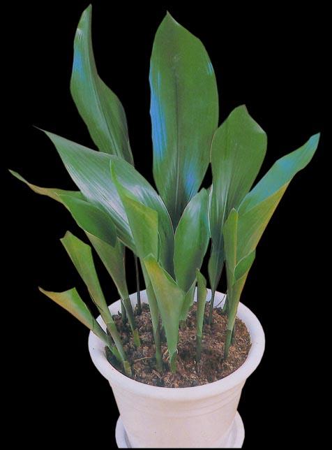 Cast Iron Plant Aspidistra Elatior 20 Bare Root Rhizomes
