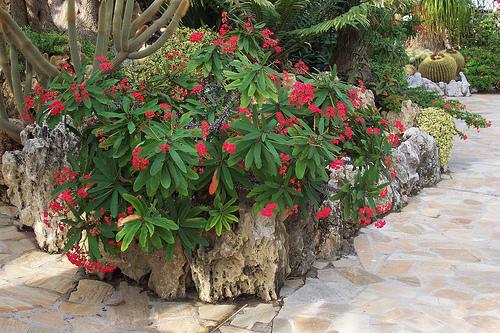 Plants Amp Flowers 187 Euphorbia Milii