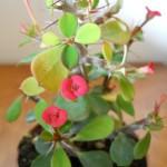 Euphorbia milii var. splendens