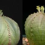 Euphorbia obesa - male & female flowers