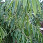 Ficus maclellandii Alii leaves