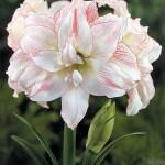 Hippeastrum - double flower