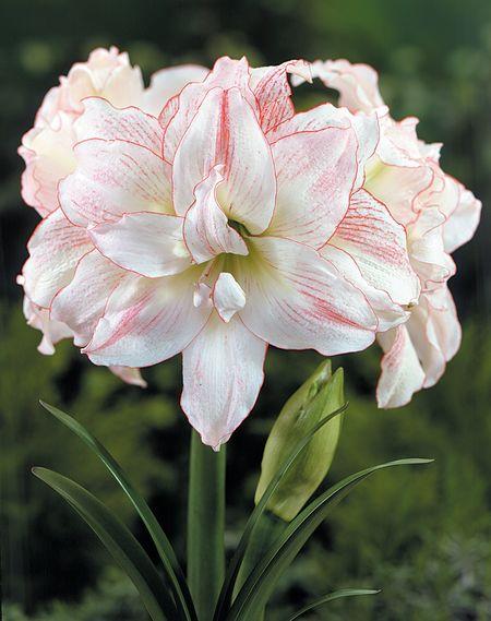 Plants flowers hippeastrum hybrids for Amaryllis hippeastrum
