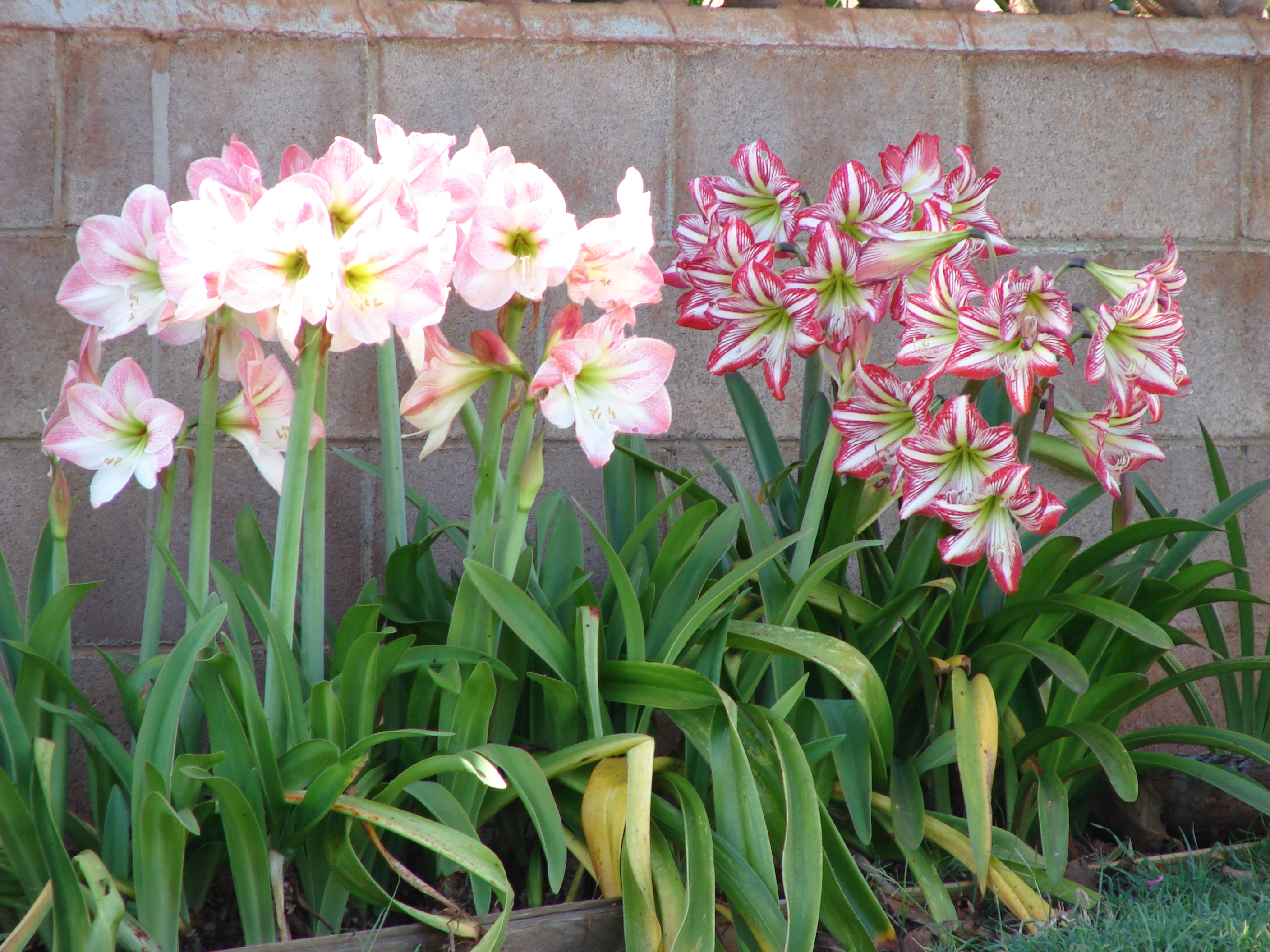 Amaryllis: care and cultivation at home 21