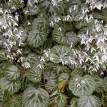 Saxifraga stolonifera groundcover