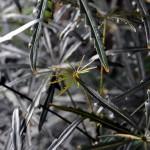 Schefflera elegantissima leaves
