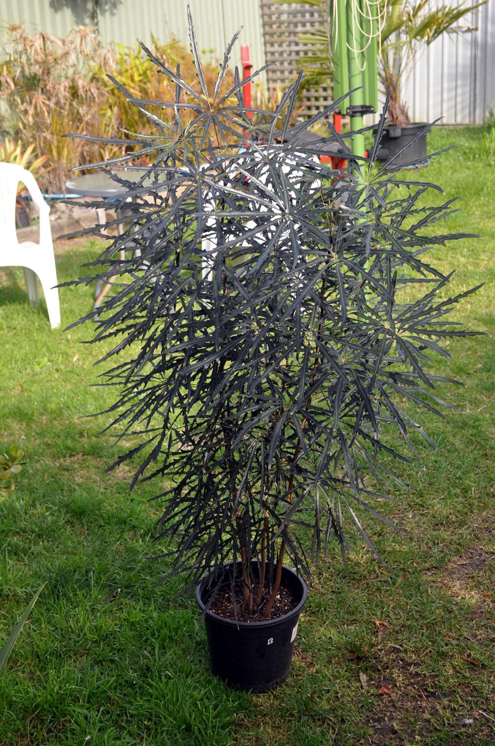 Plants & Flowers » Schefflera elegantissima