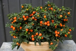 Solanum pseudocapsicum