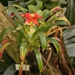 Guzmania lingulata cardinalis