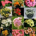 Kalanchoe blossfeldiana - flowers