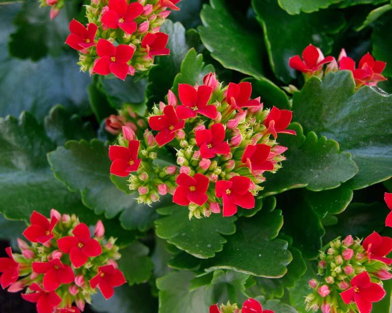 plants flowers kalanchoe blossfeldiana