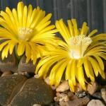 Lithops lesliei - flowers