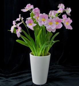 Miltonia vexillaria