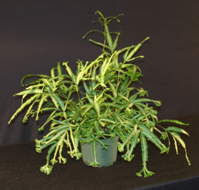 Plants Amp Flowers 187 Ribbon Fern