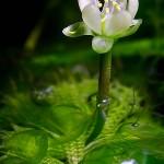 Aldrovanda vesiculosa - flower