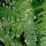 Asparagus setaceus - flowers