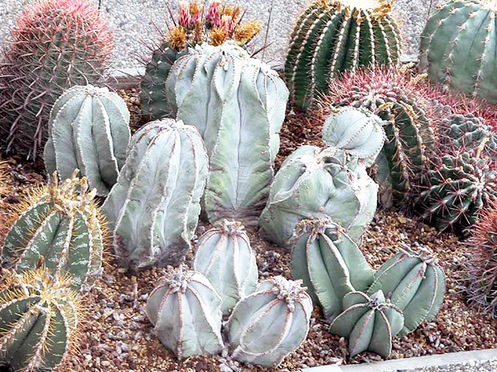 Plants Amp Flowers 187 Astrophytum Myriostigma Nudum