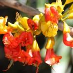 Castanospermum australe - flowers