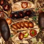 Castanospermum australe - seeds