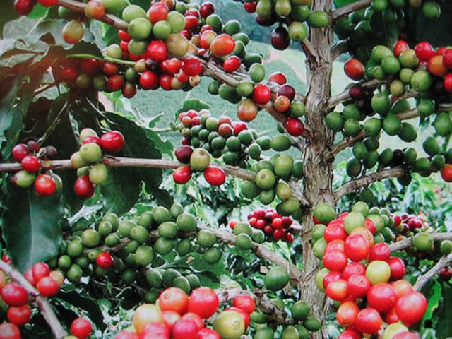 Arabica Coffee Tree Pruning