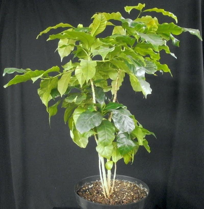 Plants flowers coffea arabica for Coffea arabica