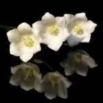 Convallaria majalis - open flower